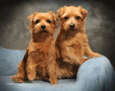 Norfolk Terrier dog art portraits, photographs, information and just plain fun. Also see how artist Kline draws his dog art from only words at drawDOGS.com #drawDOGS http://drawdogs.com/product/dog-art/norfolk-terrier-dog-portrait-by-stephen-kline/ He also can add your dog's name into the lithograph.
