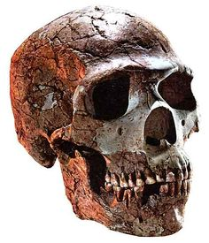 Brain Size - to ml (slightly larger than modern humans) Anthropology Major, Forensic Anthropology, Prehistoric Man, Human Evolution, Aliens And Ufos, Skull And Bones, Primates, Brain Size, Canadian Universities