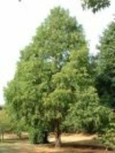 Studio 5 - Best Picks for Shade Trees