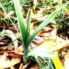 I keep finding garlic growing in my front yard. but I didn't plant garlic in the yard this fall. Maybe it's cloves that didn't grow last year? Planting Garlic In Fall, Grow Your Own Food, Garden, Plants, Lawn And Garden, Gardens, Plant, Outdoor, Home Landscaping