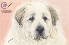 Coloured Pencil Drawing of Princess Aurora the Great Pyrenees Mountain Dog. https://sheldenefineart.com/