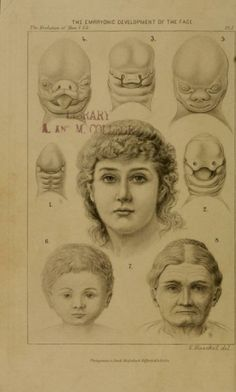 The Embryonic Development of the Face. Ernst Haeckel. The Evolution of Man. Vol. 1. 1905 ed.
