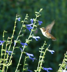 Blue Anise Sage Salvia- hummingbirds love it!