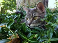 Rubin loves going outside - http://cutecatshq.com/cats/rubin-loves-going-outside/