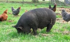 "Small breed of meat hog, perfect for a homestead because of there ""small"" size (they still get larger than what you think of when someone says small pig)"