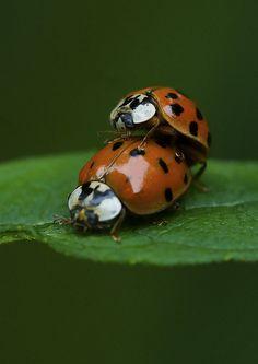 Ladybug Love - by Bernie Kasper, via Flickr