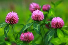 Red Clover...I look for this in fields and pastures...love.