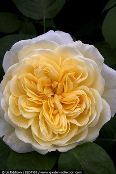 ~Rosa 'Charlotte'   yellow English Rose