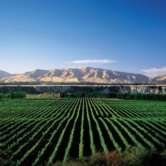 Stella 2013 harvest puts New Zealand wine back on track