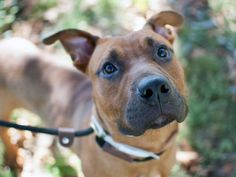 TO BE DESTROYED - 10/08/14 Manhattan Center   My name is BENNY. My Animal ID # is A1015650. I am a male brown and black pit bull and boxer mix. The shelter thinks I am about 1 YEAR 1 MONTH old.  I came in the shelter as a STRAY on 09/28/2014 from NY 10472, owner surrender reason stated was STRAY.