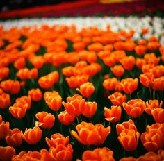 """""""Modern civilization has gathered its wealth and missed its well-being. Orange Flowers, Spring Flowers, Orange Color, Colour, Spring Is Coming, Botany, Pretty Flowers, My Favorite Color, Vegetable Garden"""