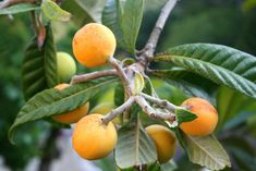 Loquat is a traditionally grown subtropical fruit tree. Also known as Eriobotrya Japonica, the loquat fruit are juicy, sweet and delicious. New cultivars have been developed to allow those wonderful trees to be grown, and fruit, in temperate climates. Check out the benefits now. You will be amazed.