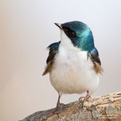 "The perfect friend for an orphaned princess-to-be: "" tree swallow (photo by laura meyers) """