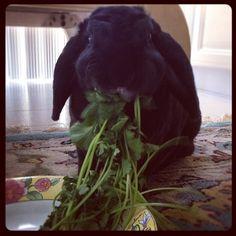 how bunnies love cilantro - so delightful  to watch them eat their cilantro