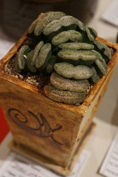 https://flic.kr/p/MP2FHy | Haworthia truncata 'Kakusan' - CSSA 2014.JPG
