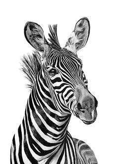 Zebra black and white Poster in the group Posters & Prints / Black & white at Desenio AB Animals Black And White, Black And White Posters, Black White, Groups Poster, Zebra Art, Survival Blanket, Wildlife Art, Art Drawings, Poster Prints