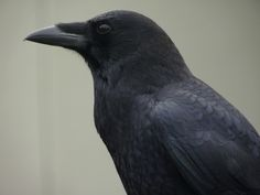 pics of crowa | ... have seen in a very long time raven i think not crow though i love