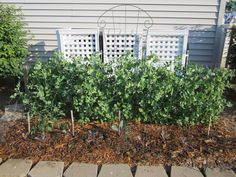 Peas grown in a small side yard next to lattice garbage can screen. Easy to grow! #SideYardVegetableGarden