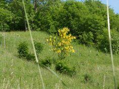 Alberello di fiori gialli.