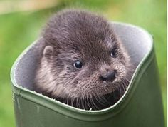 otter in welly