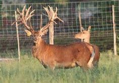 Red Deer - Bing Images