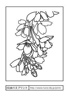 シダレザクラ・しだれ桜(主線・黒)/京都府の花/無料塗り絵/都道府県【ぬりえプリント】