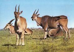 Kenya Wildlife 1970