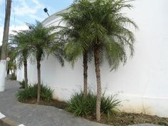 Palmeira Fênix, Tamâreira Anã