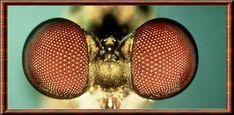 Insecte oeil