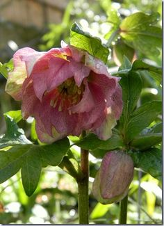 Helleborus Double Queen- christmas rose...blooms in the winter