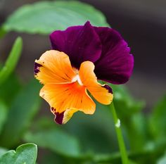 Hybrid Violet, Pansy 'Jolly Joker' (Viola x wittrockiana)