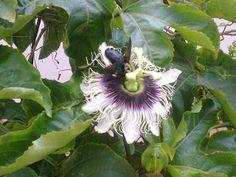 Horta, frutas e flores no jardim: Cultivo de Maracujá no jardim