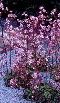 Het schildersverdriet Saxifraga urbium Clarence Elliott is e Farm Gardens, Small Gardens, Outdoor Gardens, Shade Garden Plants, Cottage Garden Plants, Lawn And Landscape, Landscape Design, Unusual Plants, Summer Garden