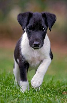 Smooth Fox Terrier. I have a serious soft spot for these guys - you can thank Tux for that.