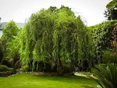 Golden Curls Corkscrew Weeping Willow Tree - Live Plant - Quart Pot Golden Curls Corkscrew Weeping W Bonsai Garden, Garden Trees, Lawn And Garden, Garden Pots, Willow Branches, Willow Tree, Fast Growing Trees, Curly Willow, Weeping Willow