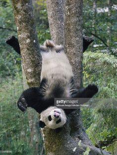 Giant Panda (Ailuropoda melanoleuca) cub playing in a tree, China