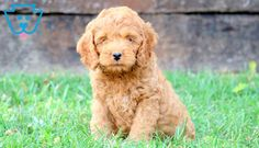 Anchor | Cockapoo Puppy For Sale | Keystone Puppies Cockapoo Puppies For Sale, Labradoodle, Brighten Your Day, Anchor, Newfoundland Dogs, Funny, Animals, Animales, Animaux