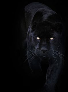 A black panther is typically a melanistic color variant of any Panthera species. Black panthers in Asia and Africa are leopards (Panthera pardus). Black panthers in the Americas are black jaguars (Panthera onca).