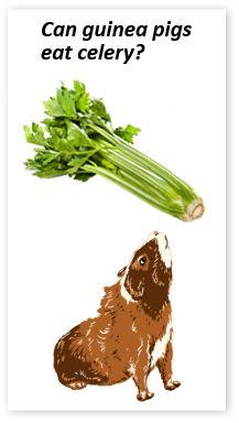 guinea pigs and celery