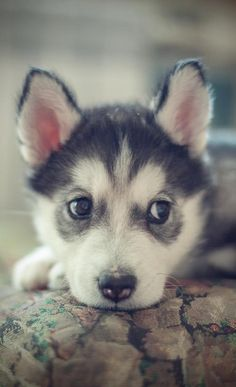 OH what I would do to get one of these beauties #Huskypup♥