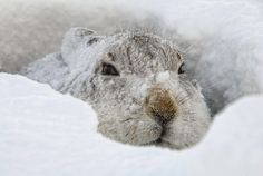 Nature Madness | Mountain Hare | C Walker