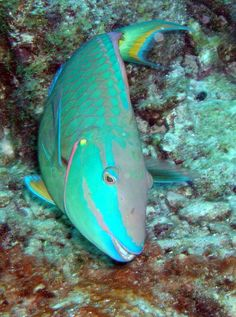 Parrotfish Parrot Fish, Beautiful Sea Creatures, Types Of Fish, Tropical Fish, Marine Life, Oceans, Under The Sea, Fanart, Universe