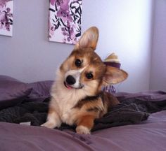 "OH MY DOG!!  The Corgi ""head tilt""!!"