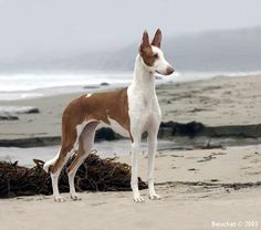 "ibizan hound-are intelligent, active, and engaging by nature.They are true ""clowns"" of the dog world, delighting in entertaining their people with their antics. They generally make good house dogs, but are active and athletic, therefore need a lot of daily exercise."