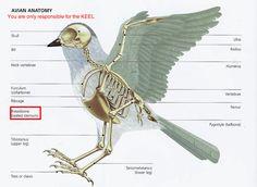 Bird Anatomy.JPG (800×584)