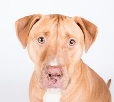 Carmell - URGENT - located at Dekalb County Animal Shelter in Decatur, Georgia - 2 year old Pit Bull Mix