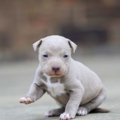Red Nose Pitbull Puppies For Sale Red Nose Pitbull Puppies, Pitbull Dog Puppy, Pitbull Puppies For Sale, Puppies Near Me, Free Puppies, Puppies Puppies, Cute Fluffy Puppies, Cute Husky Puppies, Cute Baby Dogs