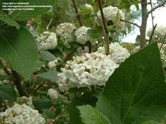 Image result for viburnum carlesii nz