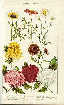 Knick of Time: Nature Garden Flowers Image - Mums Vintage Botanical Prints, Botanical Drawings, Botanical Art, Botanical Illustration, Impressions Botaniques, Illustration Botanique, Nature Plants, Flower Images, Illustrations