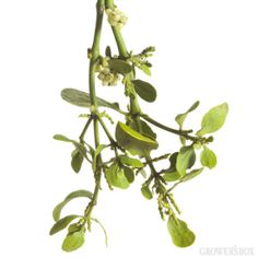 Ring in the holidays this year with bulk Mistletoe from The Grower's Box! A popular fixture at holiday parties, bulk Mistletoe ensures there is enough love to go around! Visit GrowersBox.com for more information on bulk Christmas Greens.